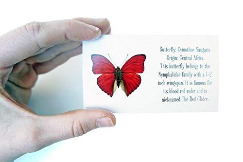 Real Sangaris Butterfly Display Shadow Box