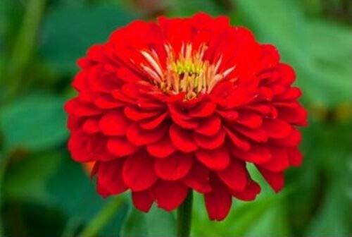 Red Zinnia Seeds, Scarlet Flame, Heirloom Zinnia Seeds, Non-GMO Flower Seed 75ct (Bird Seed That Deer Won T Eat)