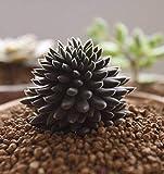sinocrassula yunnanensis, Rare Succulent, 10 Seeds