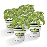 Bonnie Plants Sweet Basil (Genovese) (4 Pack) Live Plants