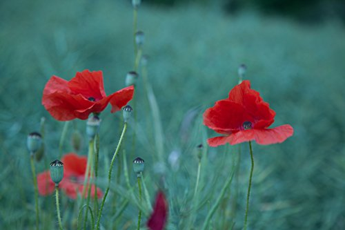 Laminated Poster Red Poppy Flowers Print