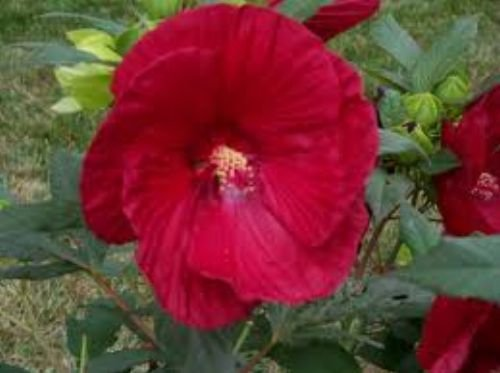 Perennial Hibiscus - 10 Cranberry Hardy Crush Hibiscus Seeds