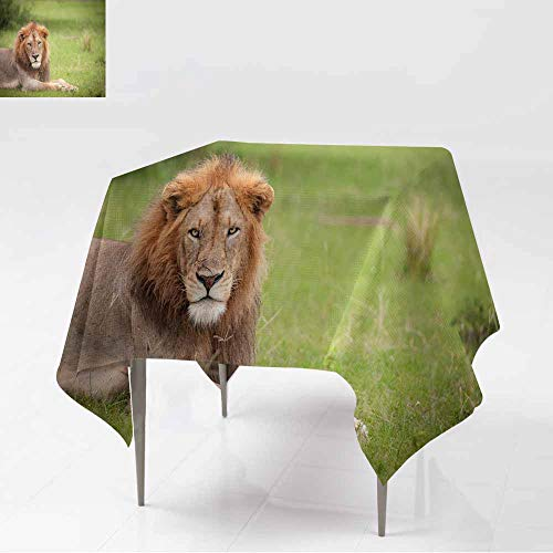 AFGG Spill-Proof Table Cover,Male Lion Relaxing After a Long Night of Hunting Murchison FA,Party Decorations Table Cover Cloth,60x60 Inch lls ()