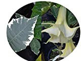 SUNSET MAYA Rare Unusual Brugmansia Live Shrub Plant Angels Trumpet Variegated Leaf Yellow Apricot Bloom Starter Size 4 Inch Pot Emerald tm