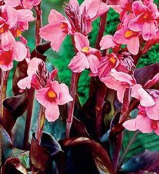 Pink & Roses Dwarf Canna Lily, Bronze Foilage, Pnk Flowering Bulbs, Roots, Rhizome, Plant, Nice addition to your Garden, Simply Gourgeous Flowering Perenial