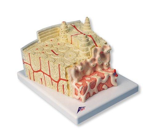 3B Scientific Bone Structure Model