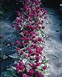 Gomphrena Buddy Purple 1,000 seeds