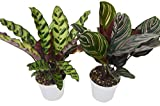 "2 Calathea Variety Pack - Live Indoor House Plant - FREE Care Guide - 4"" Pot"