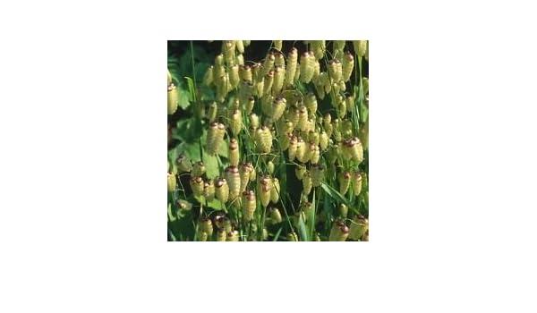 Briza Maxima Seeds 100 Seeds Quaking Grass Seeds T40
