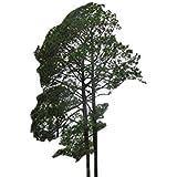 Himalaya Kiefer -Pinus roxburghii- 35 Samen -Winterhart-