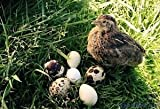 12 Fertile Coturnix Quail Hatching Eggs