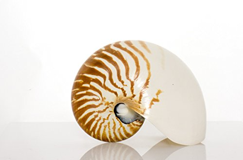 Jumbo Sculptures - SeaSationals™ Large Natural Real Sea Shells – Huge Decorative Display Natural Nautilus (Whole) 7 inches Sea Shell– This Jumbo SeaShell is Perfect for Shell Collectors or Beach Theme Décor