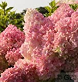 Rispenhortensie Vanille Fraise® 80-100cm - Hydrangea paniculata