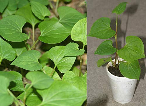 Fish Mint Houttuynia Cordata Asian Herbs Potted Plants Vietnamese Diếp Cá ()