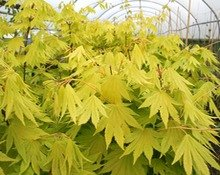 Acer Shirasawanum Jordan Golden Shirasawa Maple Jordan Amazon
