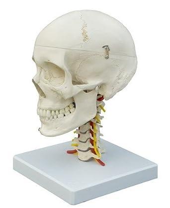 Ruediger Anatomie A224 Schädel auf HWS Modell: Amazon.de: Alle Produkte