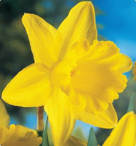 10 Jumbo King Alfred Trumpet Daffodil bulbs - 17+cm blooming size bulbs ()