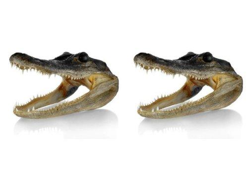 Gator Head 5-6 Inch Real Alligator Head (2 - Head Gator