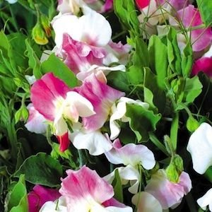 Annual Villa Roma White with Rose Sweet Pea Certified 25 Seeds #014 Item UPC#636134972892
