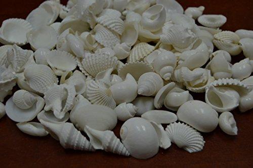 100+ Pcs Assort Mix White Sea Shell Wedding Beach Decor 1 Pound