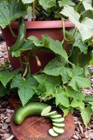 Amazon.com : Cucumber, Container, Bush Slicer : Cucumber Plants : Garden U0026  Outdoor