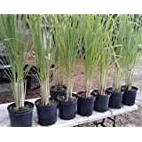 Vedhathi Farms Lemon Grass - Mosquito Repellant (Pot Not Included-Polythene Bag)
