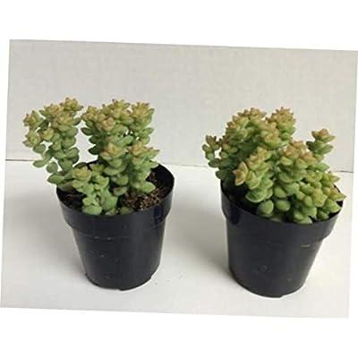TEE 1 Bare Root Small Succulent Plant. Crassula Tom Thumb. Adorable Miniature Succulent - RK69 : Garden & Outdoor