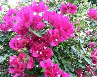 Multicolor Bougainvillea Samen DIY Sch/öne Bonsai Pflanzensamen Pflanze f/ür Hausgarten Dekorative Hof Pflanzen