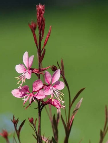 Image result for gaura