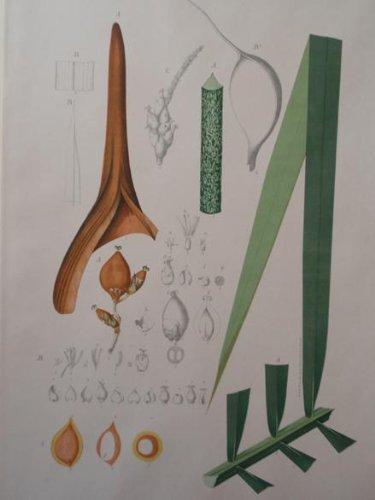 (Tab 60 Englerophoenix Attaleoides)