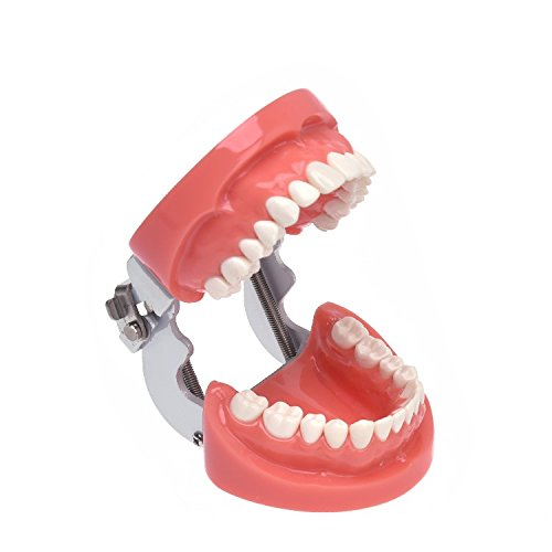 Annhua Dental Teeth Model with Removable Teeth Orthodontic Typodont Soft Gum Model for Student, Kid, Adult, Patient Teaching Studying Displaying