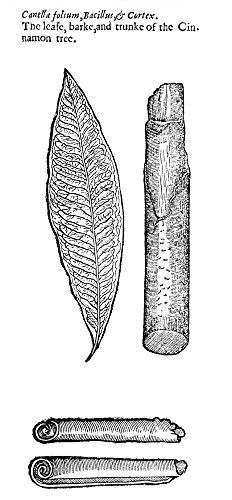 Botany Cinnamon Tree Nleaf Bark And Trunk Of The Cinnamon Tree Woodcut From Thomas JohnsonS Edition 1633 Of John GerardS Herball First Published In 1597 In London Poster Print by - Tree Bark Cinnamon
