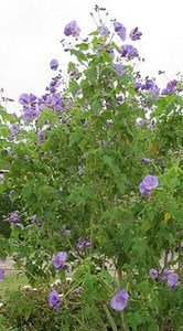 Hot Plant Co 3 X Abutilon Suntense Flowering Maple Sent In 9cm Pots