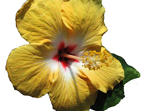 - YELLOW WING Heirloom Tropical Landscape Hibiscus Bush Live Plant Single Gold White Red Starter Size 4 Inch Pot Emerald TM