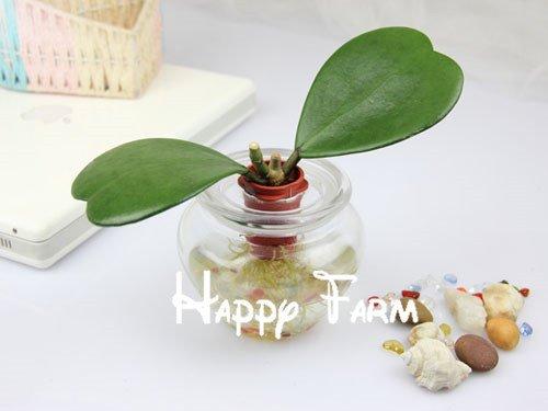 Semillas de flores 20pcs // bag Hoya semillas de orqu/ídeas kerrii Hogar y Jard/ín Bonsai p/érdida de la promoci/ón! diciembre PRODUCTOS HOO