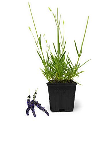 (Lavender Grosso Herb - Perennial - Available on Different Sizes (1 Plant 1Qt Size Pot))