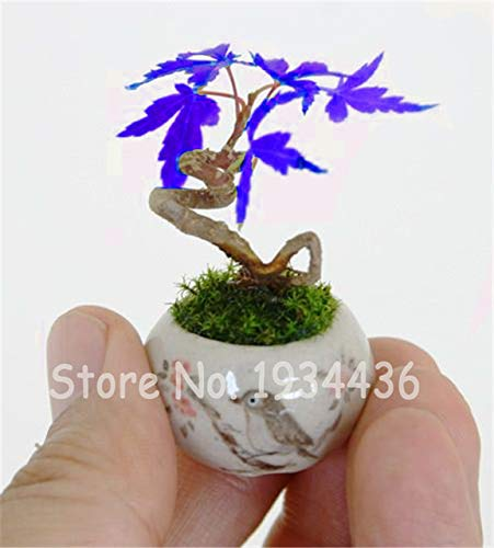 Konato - 50 Pcs Rare Tree Bonsai Plant for Home Garden, Japanese Cedar Christmas Bonsai Decoration Foliage Plants Perennial Grove Shrub - (Color: 05)
