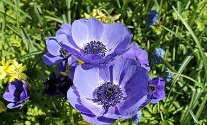 Amazon Com 15 Purple Anemone Bulbs Perennial Flowering Plants