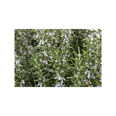 (1 Gallon) Rosmarinus officinalis 'Tuscan Blue' Tall Rosemary, Erect Shrub with fine Olive-Green Foliage, Bright Lavender-Blue Flowers in Early Spring. : Garden & Outdoor