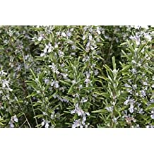 (1 Gallon) Rosemary, Perennial, Erect Shrub with Fine Olive-green Foliage, Bright Lavender-blue Flowers in Early Spring.