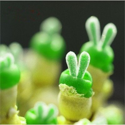Plant Amp (Flower pots planters Lithops Pseudotruncatella seeds green Bunny seeds Bonsai plants for home & garden 150/bag Free shipping)