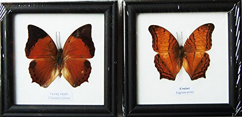 REAL TAWNY RAJAH AND CRUISER BUTTERFLY DISPLAY INSECT TAXIDERMY IN FRAMED by ThaiTaxidermy
