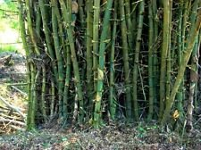 50-seeds-bambusa-bambos-giant-thorny-bamboo