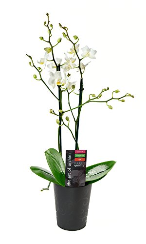 KaBloom Live Orchid Plant Collection: White Phalaenopsis Orchid Plant (18-24 Inches Tall) in a Black Ceramic Euro Bowl Pot