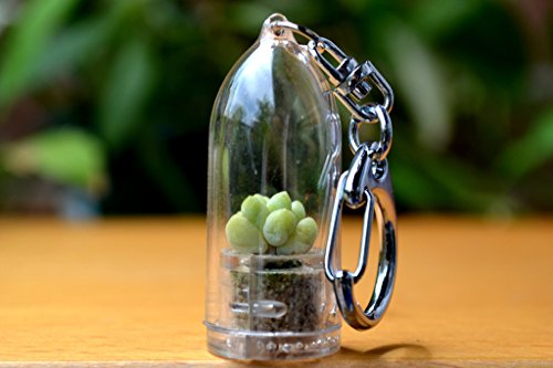 Baby Donkey Tail Live Succulent Terrarium Keychain Accessory. Succulents.