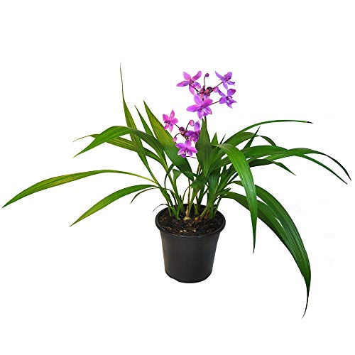AMERICAN PLANT EXCHANGE Ground Orchid Spathoglottis Plicata Live Plant, 6 Pot, Indoor/Outdoor Air Purifier