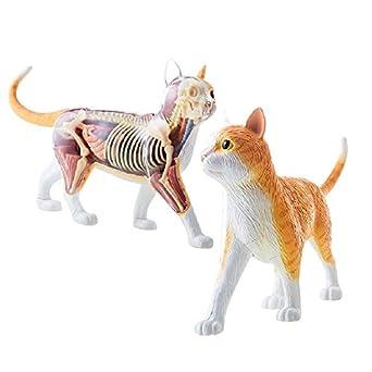 Kit de Esqueleto y anatomía de Gato Tabby Naranja 4D Vision ...