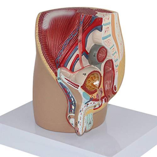 modello della ghiandola prostatica