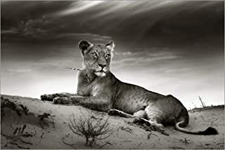 Posterlounge Stampa su PVC 60 x 40 cm: Lioness Resting on Top of a Sand Dune di Johan Swanepoel