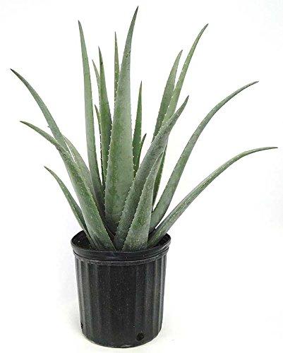 PlantVine Aloe Vera, Medicinal Aloe - Large - 8-10 Inch Pot (3 Gallon), Live Plant - 4 Pack by PlantVine (Image #1)